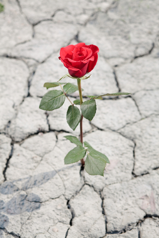 http://www.dreamstime.com/stock-images-red-rose-dry-earth-image25306534