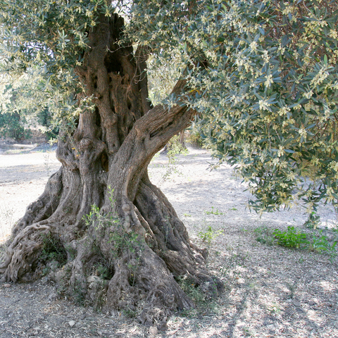 http://www.dreamstime.com/stock-photos-old-olive-tree-image26921273