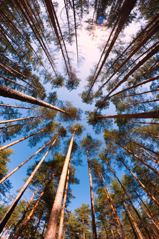 http://www.dreamstime.com/stock-photos-pine-trunks-perspective-trees-shot-wide-angle-fish-eye-lens-sun-blue-sky-as-background-image30829783