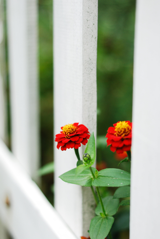 http://www.dreamstime.com/stock-photography-red-flowers-white-fence-image6795862